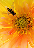 macro of a bee on a miniature dahlia