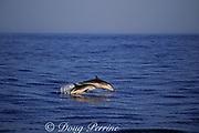 striped dolphin and calf, Stenella coeruleoalba, leaping, Azores Islands, Portugal ( North Atlantic Ocean )