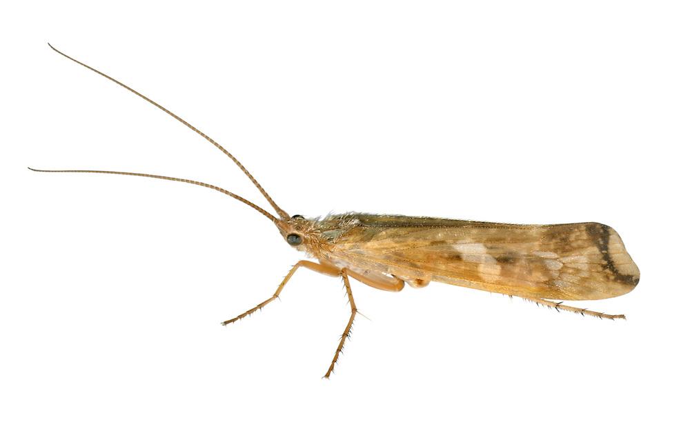 Caddis fly - Limnephilus lunatus