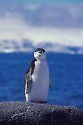 Chinstrap penguin, Elephant Island, Antarctic Peninsula.