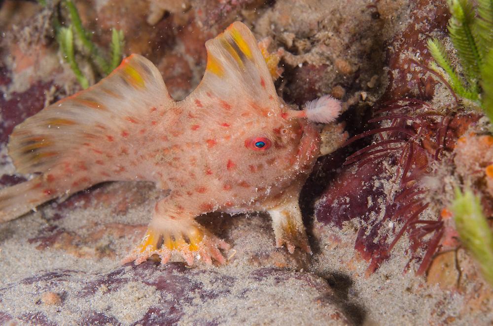 Red Handfish, Thymichthys politus