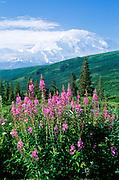 Alaska. Mt McKinley (20,320 ft) and Fireweed (Epilobium angustifolium).