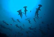 Open ocean schooling hammerhead sharks (Sphyrna lewini) viewed from underwater, below surface and school.