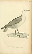 Northern Pulmar from the 1825 volume (Aves) of 'General Zoology or Systematic Natural History' by British naturalist George Shaw (1751-1813). Shaw wrote the text (in English and Latin). He was a medical doctor, a Fellow of the Royal Society, co-founder of the Linnean Society and a zoologist at the British Museum. Engraved by Mrs. Griffith