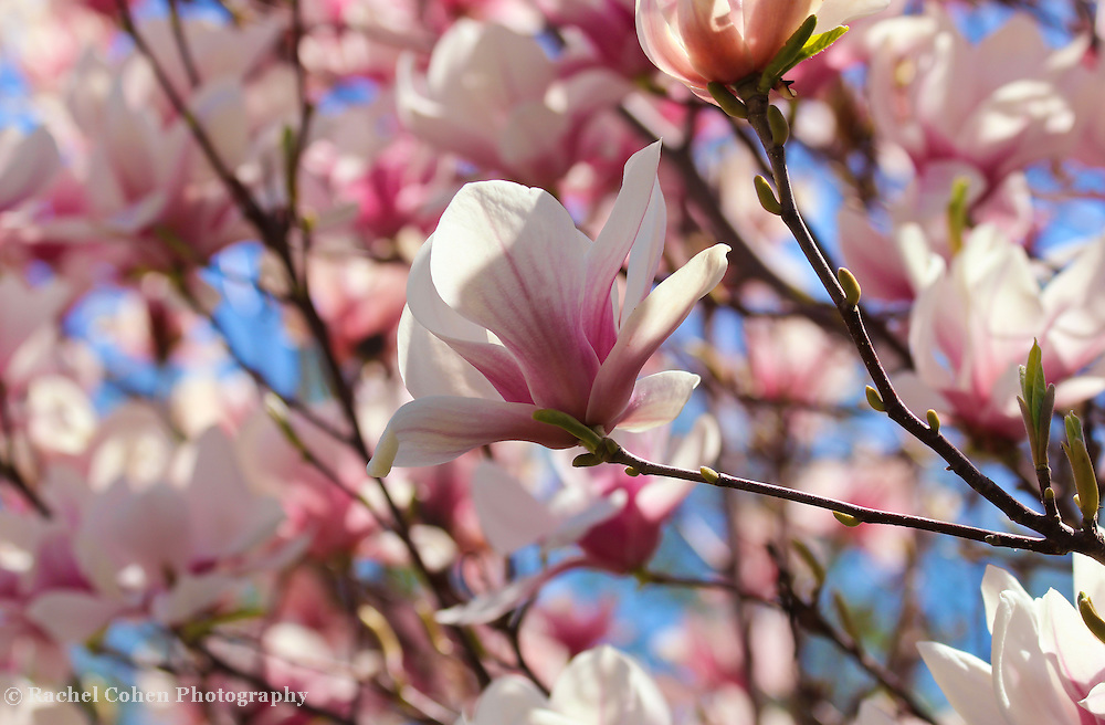 """Tulip Magnolia""<br /> <br /> Beautiful Tulip Magnolia Blossoms in springtime!!<br /> <br /> Flowers by Rachel Cohen"