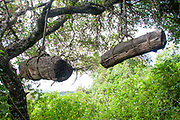 Traditional African beehives in a tree. Photographed in Ngorongoro Conservation Area, Tanzania
