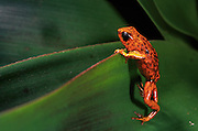 Poison dart frog (Dendrobates sylvaticus)<br /> Choco forest, Esmeraldas Province. nw ECUADOR<br /> South America  THREATENED HABITAT<br /> Terrestrial frogs found in leaf litter on the forest floor<br /> The bright colors indicate to predators that they are poisonous