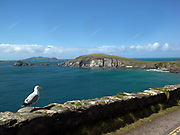 A seagull admires the view on Slea Head with the Blasket Islands in West Kerry, Ireland.<br /> Picture by Don MacMonagle -macmonagle.com