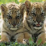 A pair of tiger cubs. Captive Animal