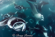 manta rays, Manta alfredi (formerly Manta birostris ), vortex-feeding or cyclone-feeding on plankton, Hanifaru Bay, Baa Atoll, Maldives ( Indian Ocean )