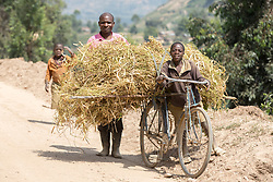 Boy Carrying Hay On Bicycle