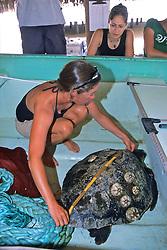 Louise Brooks Measuring Loggerhead