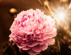 A Puffy Pink Peony Greets You From The Morning Garden