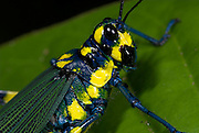 Grasshopper, Chromacris colorata, Iquitos, Peru, jungle, amazon, on leaf, poisonous obtained from eating particular foodplants, blue yellow colour.South America....