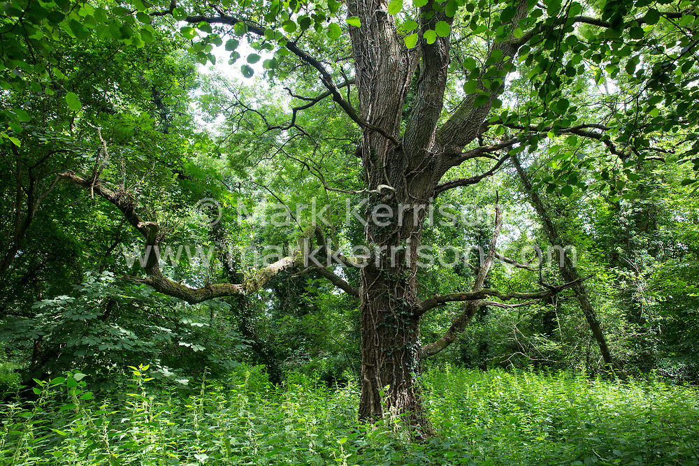 Denham, UK. 13th July, 2020. A view of woodland in Denham Country Park expected to be destroyed for HS2 Ltd as part of works connected to the HS2 high-speed rail link. HS2 is currently projected to cost around £106bn and will remain a net contributor to CO2 emissions throughout its projected 120-year lifetime.