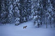 Colorado. Horse walking in snow in Evergreen