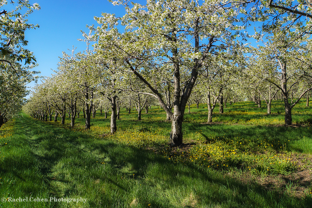 """""""Orchard in Bloom"""""""