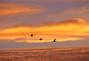 Canada geese (Branta canadensis) in flight at sunset<br />