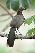Grey Headed Chachalaca, Ortalis cinereiceps, Panama, Central America, Gamboa Reserve, Parque Nacional Soberania, perched in tree