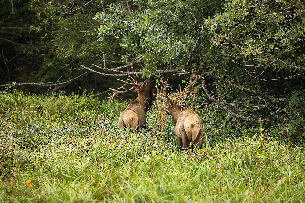 Bull elk browsing, another with grass on antlers