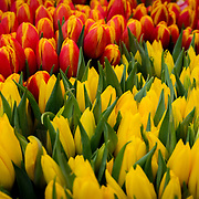 A flower bed of yellow tulips and red tulips. Photo by Adel B. Korkor.