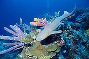 nurse shark, Ginglymostoma cirratum, New Providence, Bahamas ( Western North Atlantic Ocean )