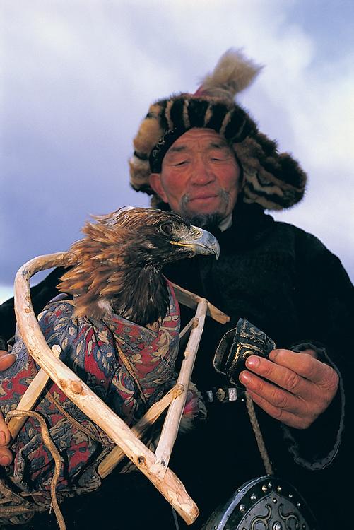 Golden eagle in travel cradle<br /> (Aquila chrysaetos)<br /> at Annual eagle festival<br /> Western Mongolia