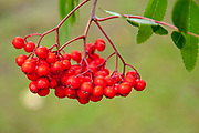 Selective focus Closeup of red berries on a a flowering plant with green background