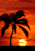 A coconut palm tree is silhouetted against the sky at sunset in Hawaii