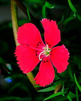 AeroGarden Farm 01-Right. Dianthus Flower. Image taken with a Fuji X-T3 camera and 80 mm f/2.8 macro lens (ISO 160, 80 mm, f/8, 1/60 sec).