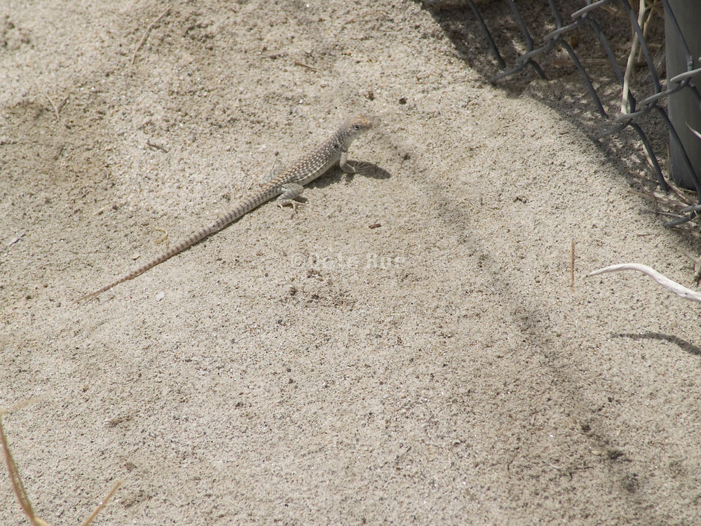 A sand lizard in the desert near Palm Springs USA.