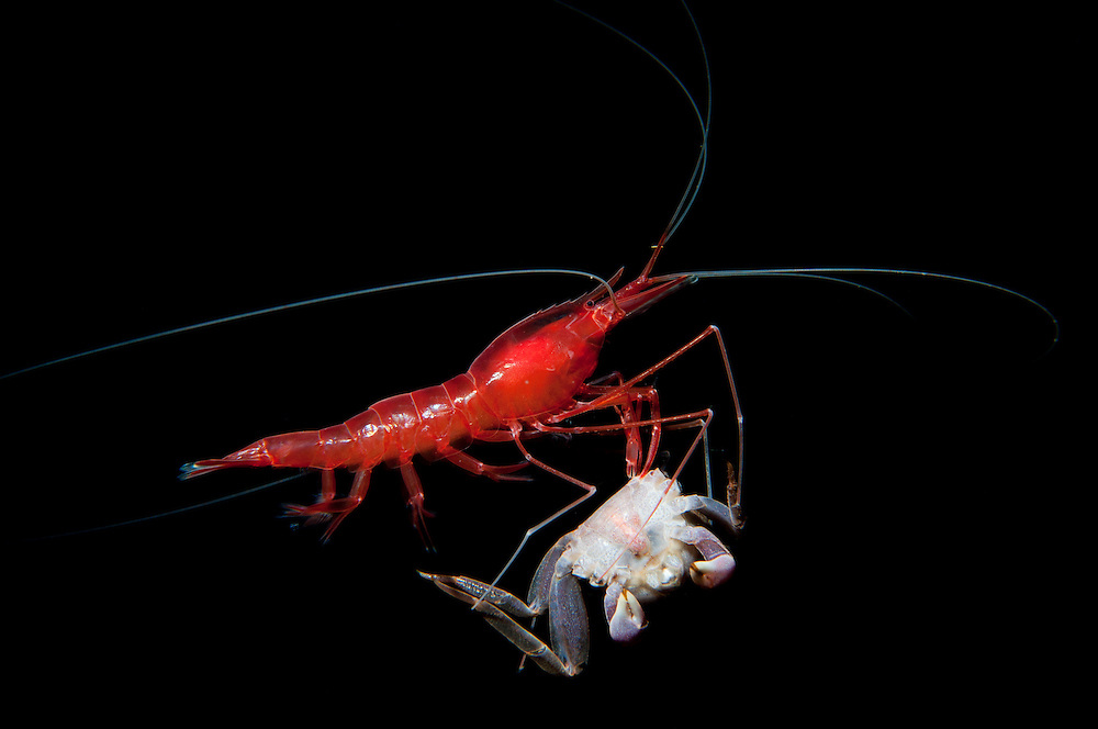 A cave shrimp consumes a crab. In this blue hole on Eleuthera Island in the Bahamas when a food source drops to the bottom a shrimp will quickly claim it's prize and rise up off the bottom to avoid competition.