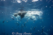 bait ball of schooling anchovies under attack by striped bonito ( small tuna ), Sarda orientalis; fish scales from slaughtered anchovy drift down, reflecting sunlight to make bright spots; Kei ( or Kai ) Islands, Moluccas, eastern Indonesia, Banda Sea, Southwest Pacific Ocean