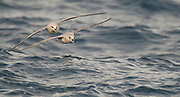 A pair of Northern Fulmars (Fulmarus glacialis) riding the waves at 80 degrees north, off Spitsbergen, Svalbard, in July 2012.