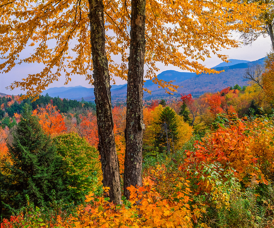Mountain views through yellow birch trees in fall, White Mountain National Forest, NH