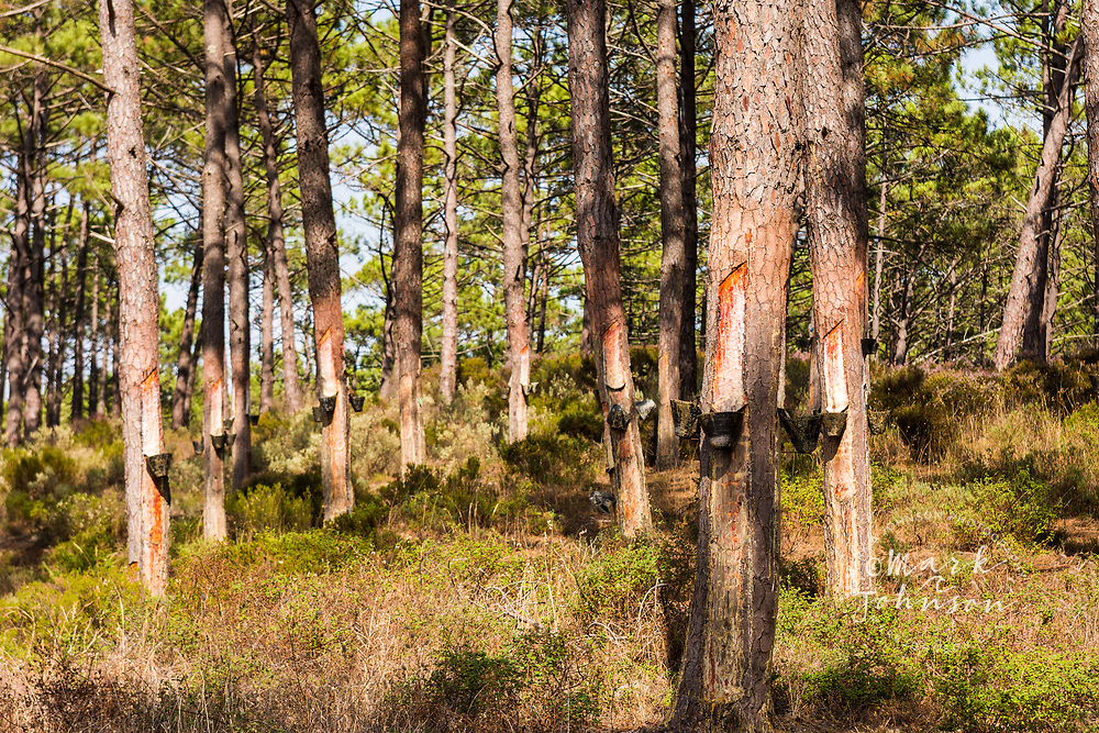 Pine trees being tapped for their resin outside Nazare, Portugal