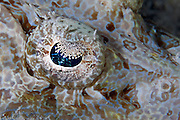 Crocodile Fishes are lie and wait carnivorous predators that feed on small fish that pass within grasp.  They are masters of camouflage and ambush and often cannot be seen until too late.  Once prey has been sighted they move with lightening fast speed to subdue and kill.  Many varieties of differing colours and sizes.  Spines are usually venomous