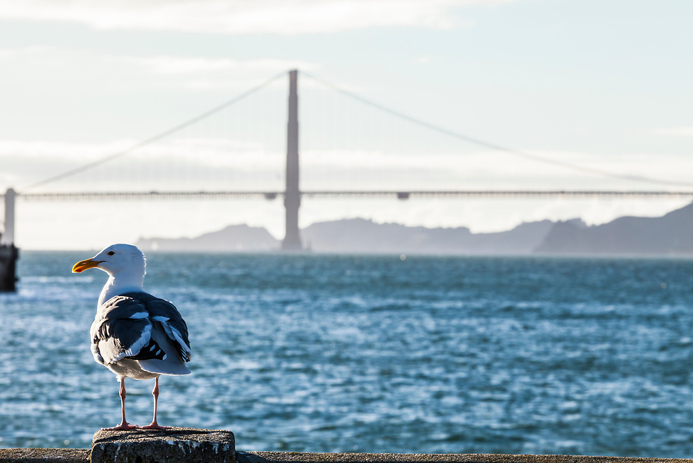 A seagull sitting on a pier near sunset with the golden gate Bridge in the background, San Fransisco, California, USA.