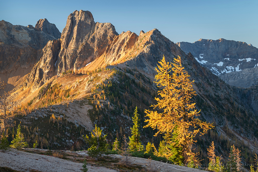 Subalpine Larches (Larix lyallii) in golden autumn color at Cutthroat Pass. The Molar of Cutthroat Peak is in the distance. North Cascades Washington