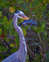Great Blue Heron With Its Morning Catch. Merritt Island National Wildlife Refuge in Florida. Image taken with a Nikon D3s camera and 80-400 mm VRII lens (ISO 200, 400 mm, f/5.6, 1/80 sec).