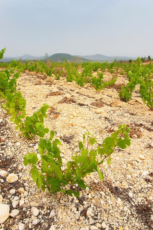 Prieure de St Jean de Bebian. Pezenas region. Languedoc. Vine leaves. Young vines. Young Roussanne vines in calcareous soil in the area of Frigolas. Terroir soil. France. Europe. Vineyard. Calcareous limestone.