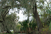 Spanish moss draped from trees in a Louisiana swamp