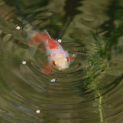 A carp in our friends' pond in Flagtown, NJ.  It is dinner time, so this one is looking up at its next bite.