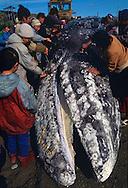 Hunted Gray Whale, Eschrichtius robustus, Chukotka, Siberia, Russia