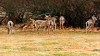 Late winter herd of Deer in the back yard. Image taken with a Fuji X-H1 camera and 200 mm f/2 OIS lens and 1.4x teleconverter (ISO 800, 280 mm, f/11, 1/80 sec)
