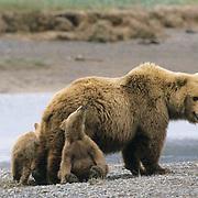 Alaskan Brown Bear, (Ursus middendorffi) Mother with two young cubs, one looking up at her, Katmai National Park, Alaska.