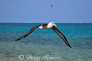Laysan albatross, Phoebastria immutabilis, flying over lagoon, Sand Island, Midway Atoll, Midway National Wildlife Refuge, Papahanaumokuakea Marine National Monument, Northwest Hawaiian Islands, USA ( North Pacific Ocean )