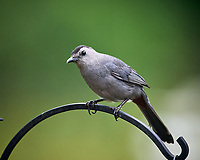 Gray Catbird. Image taken with a Nikon D5 camera and 600 mm f/4 VR lens.