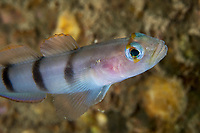 Goby, Pterogobius zacalles, found in shallow rocky bottoms. Range: Northwest Pacific around Japan and Cheju Island in the Yellow Sea. Chinese name 1 五带高鳍鰕虎鱼, Chinese name 2 五帶高鰭鰕虎魚 photographed by Zhifu Island (Chinese: 芝罘島), Shandong Province, China, byt the Bohai Sea, that is the inner part of the Yellow Sea where both the Yellow River and Hai He flow into.<br /> <br /> Conservation: The Yellow Sea is one of the most threatened marine areas on earth. Land reclamation has destructed more than 60% of tidal wetlands in only 50 years. Rapid coastal development for agriculture, aquaculture and industrial.development are primary drivers of coastal destruction in the region. In addition pollution, harmful algal blooms, invasion of introduced species are having a negative effect. There are 25 intentionally introduced species and 9 unintentionally introduced species in the Yellow Sea marine ecosystem.