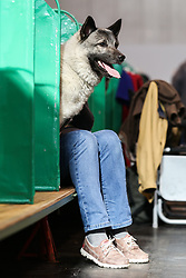 © Licensed to London News Pictures. 09/03/2017. Birmingham, UK. A dog pokes it's head out while sitting on it's handlers lap at the 126th annual Crufts dog show at the NEC in Birmingham, West Midlands. The show is organised by the Kennel Club and is the biggest of it's kind in the world.  Photo credit : Ian Hinchliffe/LNP